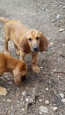 Bloodhound Puppy for sale in DEATSVILLE, AL, USA