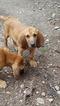 Bloodhound Puppy For Sale in DEATSVILLE, AL, USA