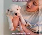 Small #38 Dogo Argentino