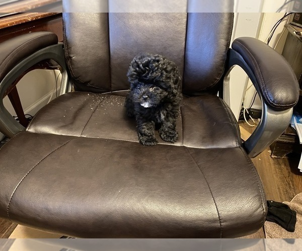 Medium Photo #1 Poodle (Toy) Puppy For Sale in MOUNT PLEASANT, SC, USA