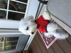 Maltese Puppy For Sale in GLEN BURNIE, MD