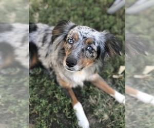 Mother of the Miniature Australian Shepherd puppies born on 11/24/2019