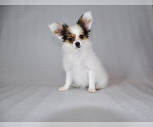 Papillon Dog for Adoption in DES PLAINES, Illinois USA