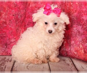 Maltese Puppy for sale in RICHLAND, MO, USA