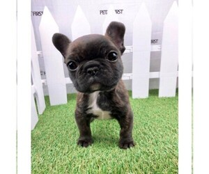 French Bulldog Puppy for sale in DIX HILLS, NY, USA