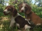 Beagle Puppy For Sale in KATY, TX, USA