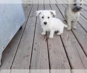 West Highland White Terrier Puppy for sale in WHITEWOOD, SD, USA