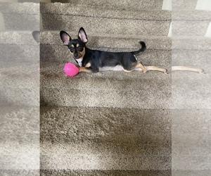 Yorkillon Puppy for sale in VANCOUVER, WA, USA