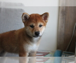 Small Photo #3 Shiba Inu Puppy For Sale in SEATTLE, WA, USA