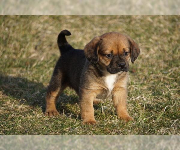 PuppyFinder com - View Ad: Photo #1 of Listing Puggle Puppy