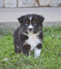 Miniature Australian Shepherd Puppy For Sale in STEPHENVILLE, TX, USA