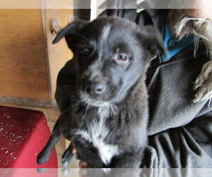 Shepradors Puppy for sale in KALAMAZOO, MI, USA