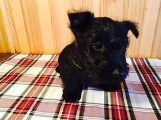 Scottish Terrier Puppy For Sale in THATCHER, ID