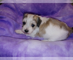 Havachon Puppy for sale in WINSTON SALEM, NC, USA