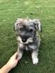 Schnauzer (Miniature) Puppy For Sale in BOERNE, TX, USA