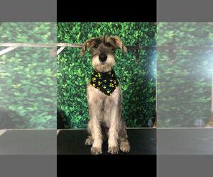 Schnauzer (Giant) Puppy for sale in SAINT CLOUD, FL, USA