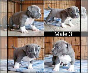American Bully Puppy for sale in BILLINGS, MO, USA
