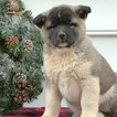 Akita Puppy For Sale in GAP, PA, USA