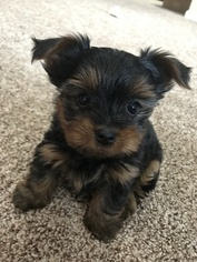 View Ad: Yorkshire Terrier Puppy for Sale near Connecticut