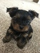 Yorkshire Terrier Puppy For Sale in MIDDLETOWN, CT, USA