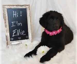 Golden Shepherd Puppy for Sale in GREENCASTLE, Pennsylvania USA