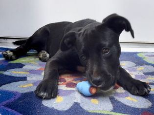 American Staffordshire Terrier-Unknown Mix Puppy For Sale in ANNAPOLIS, MD, USA