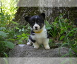 Small Photo #10 Pembroke Welsh Corgi Puppy For Sale in TUPELO, MS, USA