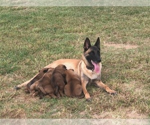 Mother of the Belgian Malinois puppies born on 09/27/2020