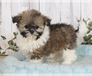 Shiranian Puppy for sale in PENNS CREEK, PA, USA