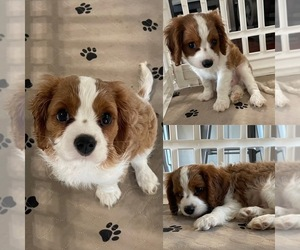 Cavalier King Charles Spaniel Puppy for sale in RIVERSIDE, CA, USA