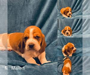 Basset Hound Puppy for sale in SMYER, TX, USA