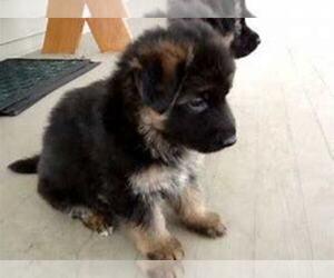 German Shepherd Dog Puppy for sale in GR, MI, USA