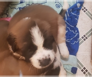 Saint Bernard Puppy for Sale in TULSA, Oklahoma USA