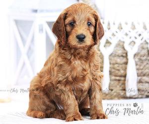 Goldendoodle-Poodle (Miniature) Mix Puppy for Sale in EPHRATA, Pennsylvania USA