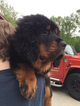 Tibetan Mastiff Puppy For Sale in SHEFFIELD LAKE, OH