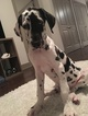 Great Dane Puppy For Sale in BELTSVILLE, MD,