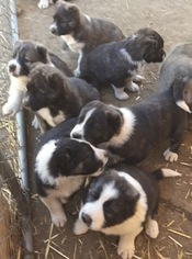 Caucasian Shepherd Dog Puppy For Sale in ACTON, CA, USA