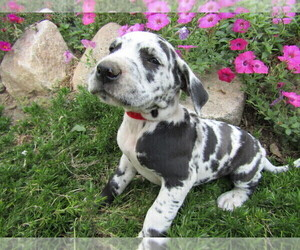 Great Dane Puppy for sale in SOUTH BEND, IN, USA