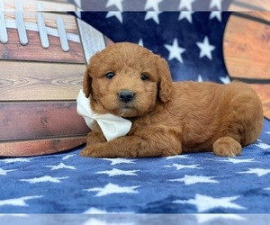 Double Doodle Puppy for sale in LANCASTER, PA, USA