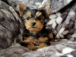Yorkshire Terrier Puppy for sale in GLADWIN, MI, USA