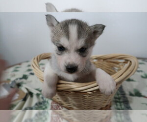 Siberian Husky Puppy for sale in DETROIT, MI, USA