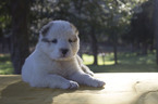 Central Asian Shepherd Dog Puppy For Sale in SPARTANBURG, SC