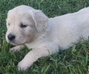 Golden Retriever Puppy for sale in DECKER PR, TX, USA