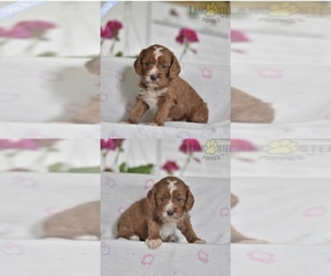 Cavalier King Charles Spaniel-Poodle (Toy) Mix Puppy for sale in WASHINGTON, DC, USA