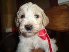 Labrador Retriever-Poodle (Miniature) Mix Puppy For Sale in HUNTSVILLE, IL