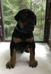 Doberman Pinscher Puppy For Sale in BENSALEM, PA, USA