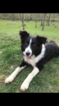 Collie Puppy For Sale in GREENFIELD, IN, USA
