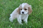 Cockalier Puppy For Sale in NAZARETH, PA, USA