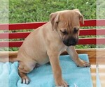 Small Photo #1 Cane Corso-Labrador Retriever Mix Puppy For Sale in CHARLOTT HALL, MD, USA