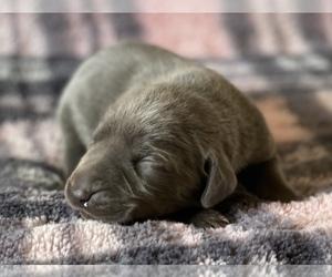 Weimaraner Puppy for Sale in REXBURG, Idaho USA